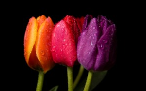 nature_flowers_flowers_on_a_black_background_021075_