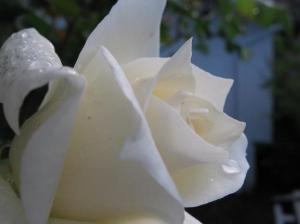 white-rose-with-dew-drops-kathy-roncarati