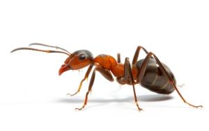 Ant-individual-